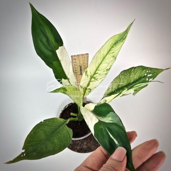 spatiphyllum New One#7
