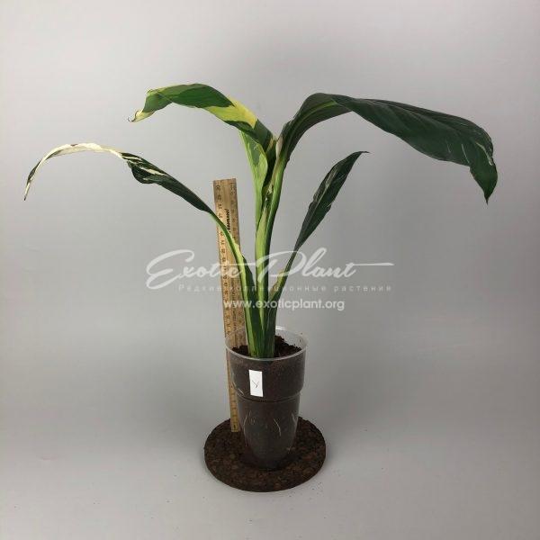 Spatithyllum cochlearispathum Sunny Sails (white form) = Spatithyllum Sensation white variegated#1 / спатифиллум Санни Сейлс (Солнечные Паруса) белая вариегатность, Спатифиллум Сенсейшн (Сенсация), белая вариегатность