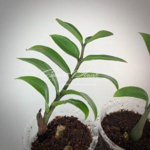 Zamioculcas zamifolia dwarf form