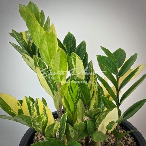 Zamioculcas zamifolia variegated (short leaf) №10