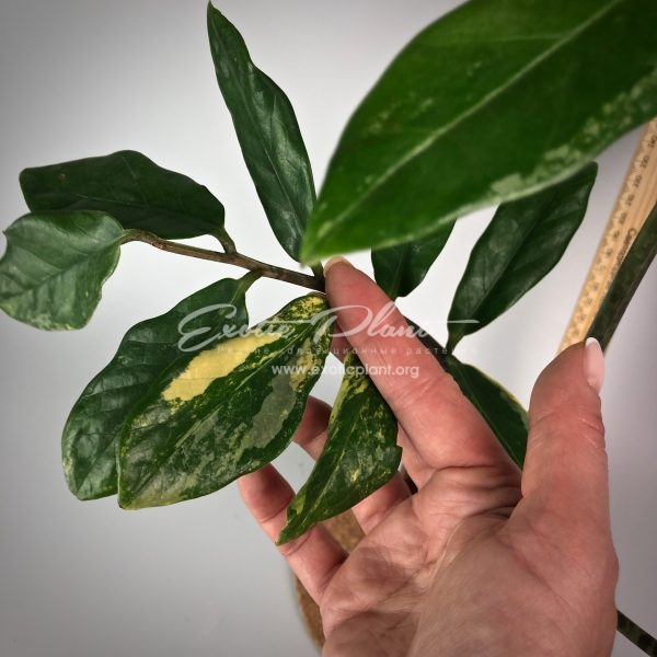 Zamioculcas zamiifolia white variegated (long leaf) №5