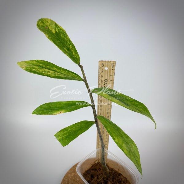 Zamioculcas zamiifolia white variegated (long leaf)